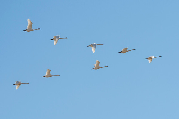 Perfect V - Tundra Swans