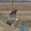 Rough-legged Hawk (light adult) - White strip on tail evident.