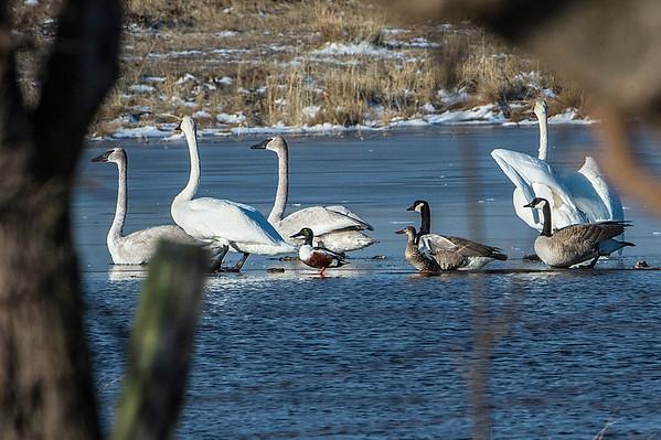 Tundra Swans (Juvenille & Adult); Northern Shoveler ducks; Canada Geese