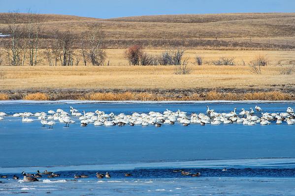 Spring is back.  - Swans, Canada Geese, Ducks (American Wigeons, Mallards, Goldeneyes),