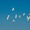 Sky Lights - Tundra Swans