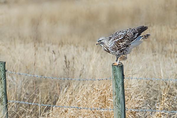 Just landed - Rough-legged Hawk (light adult)