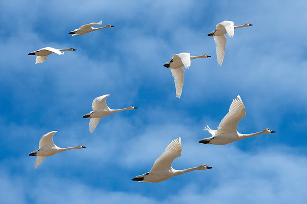 Perfect Pairs - Tundra Swans