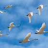 Perfect Pairs - Tundra Swans