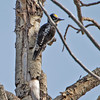 The yellow forehead is one of the most identifiable signs of this woodpecker.  Also the single stripe on the back is another identifier that sets it apart from the Black-backed woodpecker