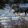 In some places the snow is up to their bellies making it a very difficult year for the horses and their foals.