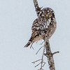 A hawk owl perching on a snag stares at me.