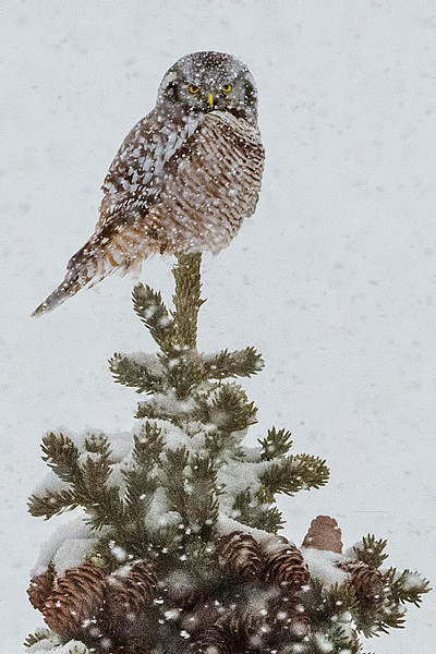He flies over to an evergreen.  A great winter pose.