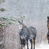 This is camouflage mode.  The Stallion has now donned some shrubbery.  The grey blends in to the snow.