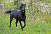 To our suprise, the stallion trotted directly towards us.