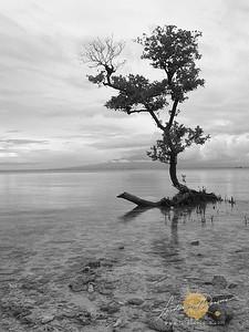 Lone Mangrove - Siquijor