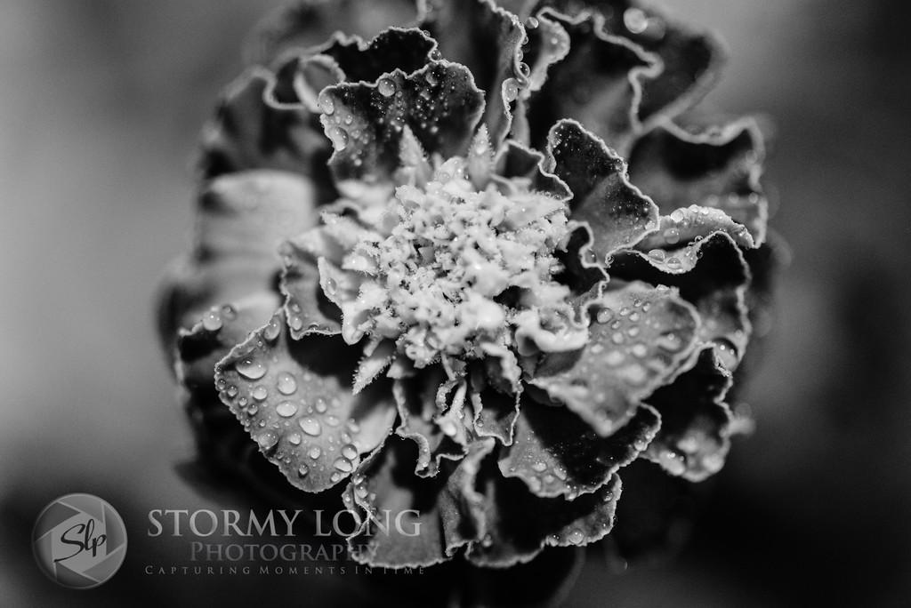 Black & White ~ Day 2 - Darken Flower