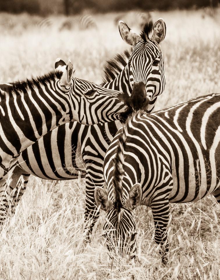 Zebra Designers