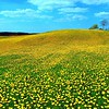 Huge carpet of dandelions