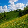 Buttercups on the hillside
