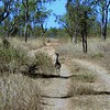 Australian Bustard on its way