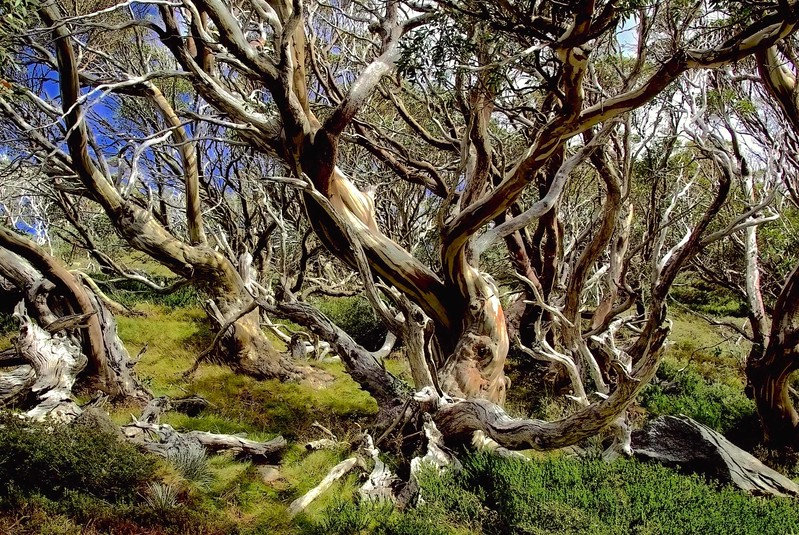 Snow gums, Kosciuszko National Park