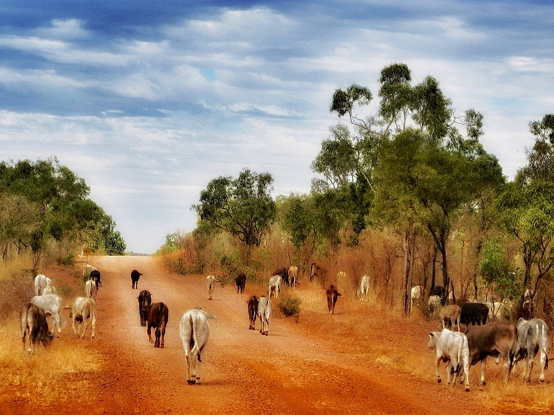 Cattle on the road east of Kathrine, Northern Territory