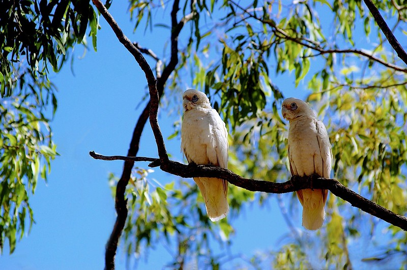 Corellas, also known as Little Cockatoo