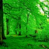 The beautiful Danish beech forest - with brand new and bright green leaves