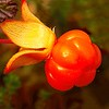 Cloudberry,  just pick and eat