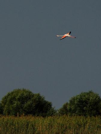 gökçeada - flamingolar