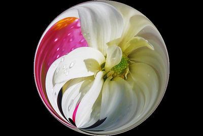 Begonia/Mum