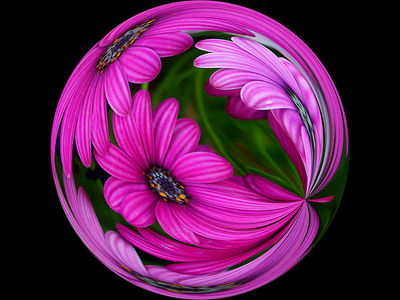 African Daisies #2