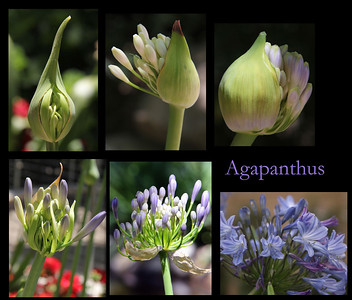 Stages of an Agapanthus