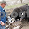 Beck Diefenbach  -  bdiefenbach@daily-chronicle.com<br /> <br /> Dale Rhode watches his simmental bulls after feeding them at his ranch outside of Kingston, Ill., on Wednesday April 15, 2009. Rhode was awarded with the Historic Angus Award for fifty years of angus beef production.