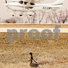 Beck Diefenbach  -  bdiefenbach@daily-chronicle.com<br /> <br /> An airplane lands behind birds at DeKalb Taylor Municipal Airport in DeKalb, Ill., on Thursday April 2, 2009.