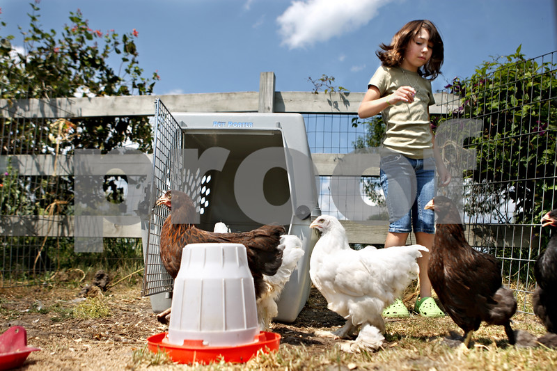 Rob Winner – rwinner@daily-chronicle.com<br /> Colleen Dow, 10, tries to catch one of her nine chickens at her family's home in Sycamore recently. Dow will be in fourth grade this fall, but she is already a thriving entrepreneur. She raises chickens and sells their eggs through her own egg company, Fly Away Eggs.<br /> 08/06/2009