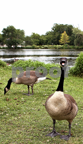 Rob Winner – rwinner@daily-chronicle.com<br /> An aggresive goose hisses near the lagoon at NIU on Tuesday afternoon.<br /> 07/14/2009