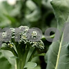 Beck Diefenbach  -  bdiefenbach@daily-chronicle.com<br /> <br /> Broccoli grows on the Erehwon Farm in Elburn, Ill., on Wednesday June 3, 2009.