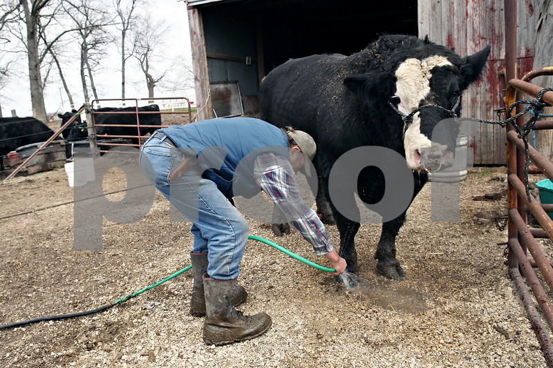 Beck Diefenbach  -  bdiefenbach@daily-chronicle.com<br /> <br /> Dale Rhode cleans out the hoof of a simmental bull after removing a twig from its toe at his ranch in outside of Kingston, Ill., on Wednesday April 15, 2009. Historic Angus Award for fifty years of angus beef production.