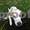 Rob Winner – rwinner@daily-chronicle.com<br /> <br /> Charlie, a blind Beagle who was adopted from the DeKalb TAILS where he arrived after a hoarding incident nearly two years ago, uses his nose to track a squirrel at his new home in Lombard.<br /> <br /> 10/09/2009