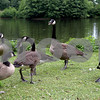 Rob Winner – rwinner@daily-chronicle.com<br /> A group of Canada Geese walk along the lagoon at NIU on  Tuesday afternoon.<br /> 07/14/2009