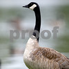 Rob Winner – rwinner@daily-chronicle.com<br /> A Canada Goose at the lagoon at NIU on Tuesday afternoon.<br /> 07/14/2009