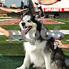 Beck Diefenbach  -  bdiefenbach@daily-chronicle.com<br /> <br /> Diesel, The Huskie Dog
