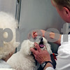 "Beck Diefenbach – bdiefenbach@daily-chronicle.com<br /> <br /> Dr. David Emmert, right, examines the eye of Lola, a 3 year old maltese poodle, as her owner, Jean Talbert, of DeKalb, watches at Prairie View Animal Hospital in DeKalb, Ill., on Thursday March 5, 2009. Talbert took Lola in for protruding eye lid called ""cherry eye."""