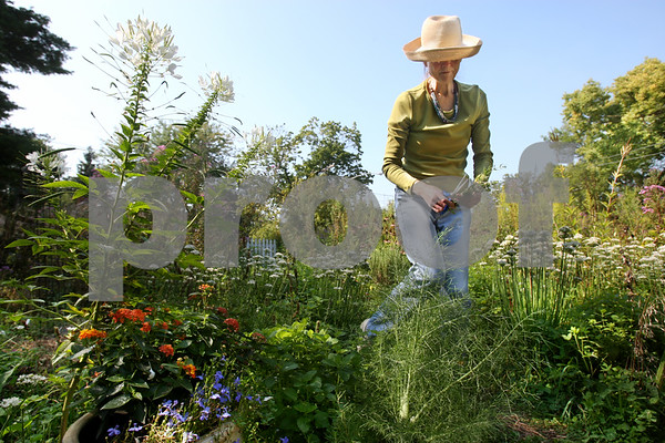 Rob Winner – rwinner@daily-chronicle.com<br /> Evelyn Cooley, owner of Wild Thyme Herb Garden in Genoa, gathers herbs on Thursday morning.<br /> 09/10/2009