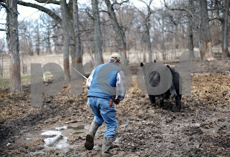 Beck Diefenbach  -  bdiefenbach@daily-chronicle.com<br /> <br /> Dale Rhode chases after one of his simmental bulls so he can remove a twig stuck in the bull's toe at his ranch outside of Kingston, Ill., on Wednesday April 15, 2009. Historic Angus Award for fifty years of angus beef production.