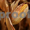 Beck Diefenbach – bdiefenbach@daily-chronicle.com<br /> <br /> Corn waits to be harvested on land rented by Paul Rasmussen in Sycamore, Ill., on Tuesday Sept. 21, 2010.