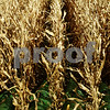 Beck Diefenbach – bdiefenbach@daily-chronicle.com<br /> <br /> Rows of corn are harvested on land rented by Paul Rasmussen in Sycamore, Ill., on Tuesday Sept. 21, 2010.