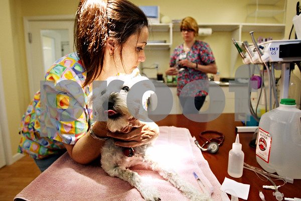 Rob Winner – rwinner@daily-chronicle.com<br /> <br /> Veterinary technician Dana Howard (left) holds down and tries calm Rosie, a Schnauzer mix, while April Johnson retrieves a mask before Rosie's anesthesia puts her to sleep for spaying surgery at the TAILS Training and Veterinary Center in DeKalb, Ill. on Friday May 21, 2010.