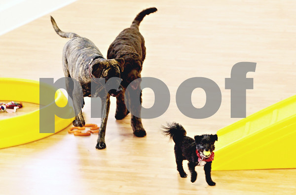 Rob Winner – rwinner@daily-chronicle.com<br /> <br /> Three dogs play in the training area at the new TAILS Training and Veterinary Center in DeKalb, Ill. on Friday May 21, 2010.