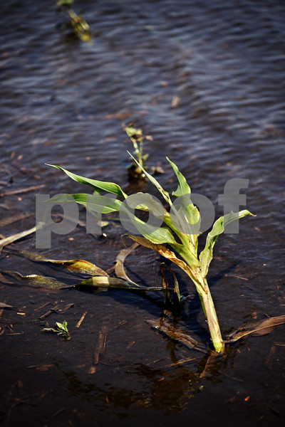 Beck Diefenbach  -  bdiefenbach@daily-chronicle.com<br /> <br /> A lone corn stalk is surrounded by standing water in Leland, Ill., on Monday July 5, 2010.