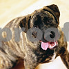 Rob Winner – rwinner@daily-chronicle.com<br /> <br /> A Mastiff mix sits in the training area at the new TAILS Training and Veterinary Center in DeKalb, Ill. on Friday May 21, 2010.