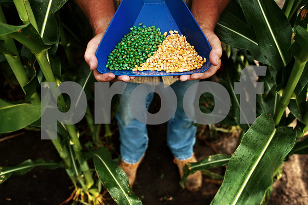 Beck Diefenbach  -  bdiefenbach@daily-chronicle.com<br /> <br /> DeKalb Yield Guard VT corn seed is used in research at the Monsanto Research Station in Waterman, Ill. On the left is corn seed treated for protection against insects and the right is not.