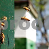 Rob Winner – rwinner@daily-chronicle.com<br /> <br /> Worker honeybees leave and return after collecting pollen to their colony at Honey Hill Orchards in Waterman, Ill. on Friday May 14, 2010.